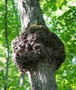 1 UP burl in tree